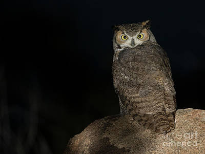 Photograph - Backyard Owl by Bryan Keil