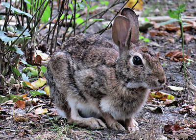 Rabbit Photograph - Backyard Rabbit by Jodi DiLiberto