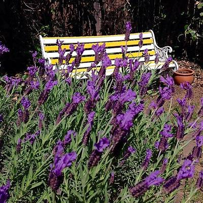 Lavender Photograph - Backyard Spring #lavender by Anthony Croke