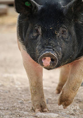 Photograph - Bacon by Susan Herber