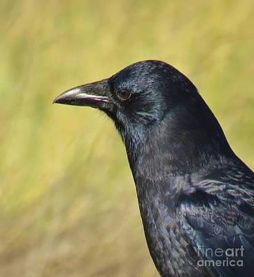Photograph - Corvus Corax by Michele Penner