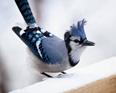 Blue Jay Photograph - Bad Feather Day by Al  Mueller