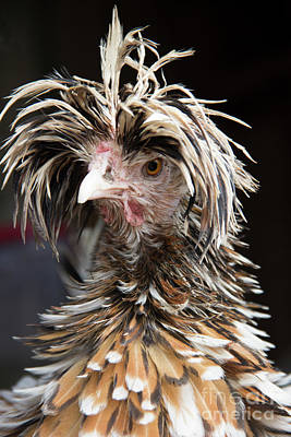 Photograph - Bad Hair Day For A Frizzle Tolbount Polish Hen by Jeannette Hunt