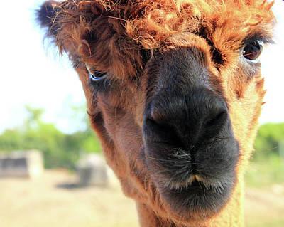 Photograph - Bad Hair Day For The Alpaca by Angela Murdock