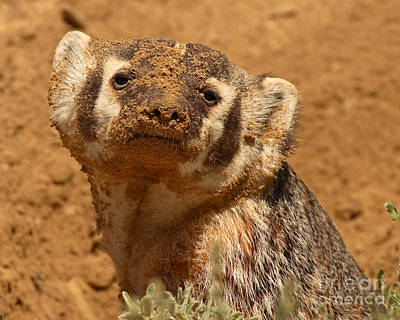 Badger Covered In Dirt From Digging Art Print by Max Allen