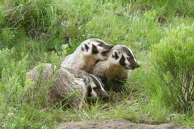 Photograph - Badger Family by Mark Miller