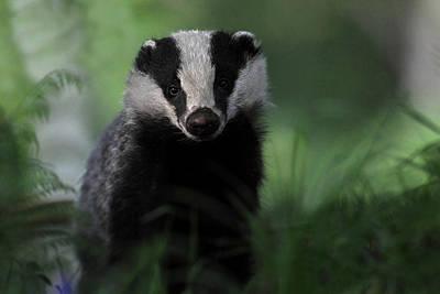 Photograph - Badger by Gavin Macrae