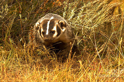 Photograph - Badger In The Brush by Adam Jewell