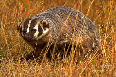Photograph - Badger In The Fall by Adam Jewell