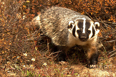 Photograph - Badger In The Fall Brush by Adam Jewell