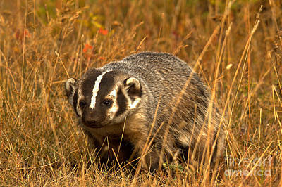 Photograph - Badger In The Grass by Adam Jewell