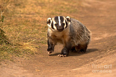 Photograph - Badger On The Trail by Adam Jewell