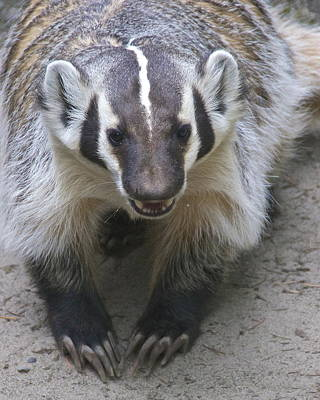 Badgered Badger Art Print by Sean Griffin