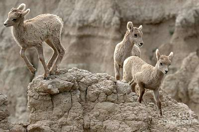 Photograph - Badlands Baby Bighorns by Adam Jewell