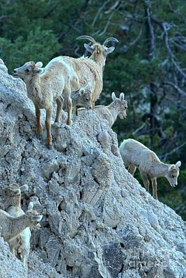 Photograph - Badlands Big Horn Sheep Family by Adam Jewell
