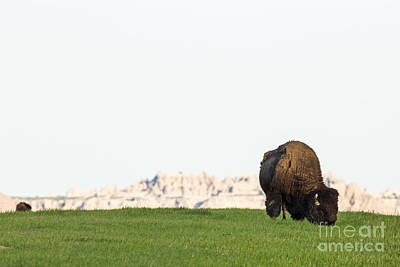 American Bison Photograph - Badlands Bison by Natural Focal Point Photography