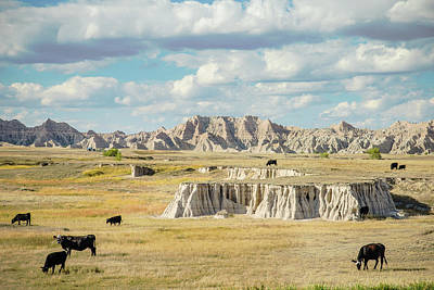 Photograph - Badlands Cattle by Steven Bateson
