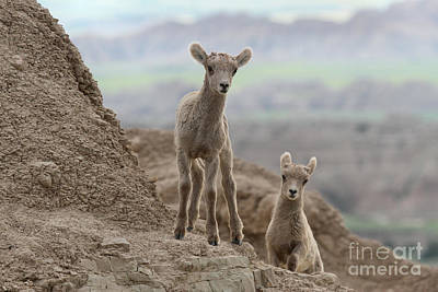 Photograph - Badlands Curiosity by Adam Jewell