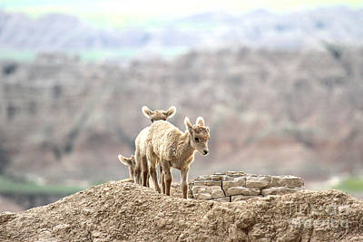 Photograph - Badlands Trio by Adam Jewell