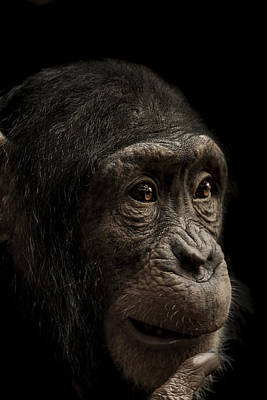 Chimpanzee Photograph - Baffled by Paul Neville