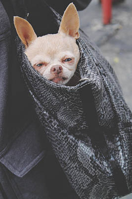 Chihuahua Photograph - Bagged by Laurie Search