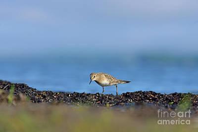 Photograph - Baird's Sandpiper by Joshua McCullough
