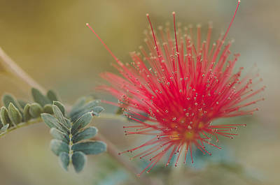 Photograph - Baja Fairy Duster by Don Schwartz