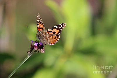 Photograph - Balancing Painted Lady by Karen Adams