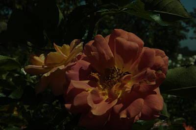 Photograph - Balboa Park Roae Garden Flower 7 by Phyllis Spoor