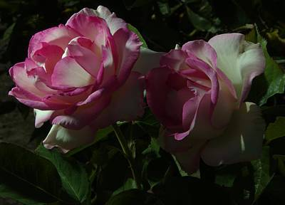 Photograph - Balboa Park Rose Garden Flower 2 by Phyllis Spoor