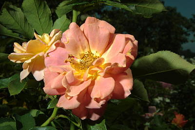 Photograph - Balboa Park Rose Garden Flower 5 by Phyllis Spoor