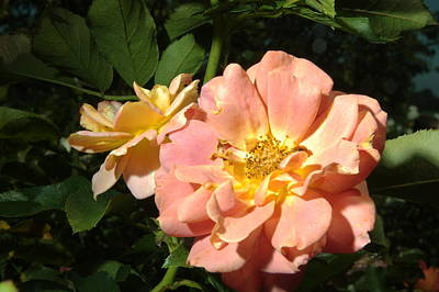 Photograph - Balboa Park Rose Garden Flower 6 by Phyllis Spoor