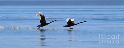 Balck Swans Taking To Flight Art Print