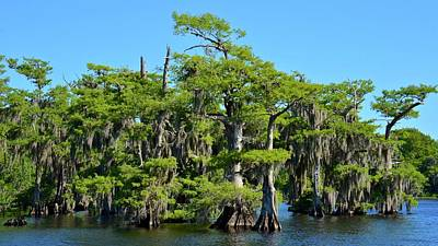 Photograph - Bald Cypress And Spanish Moss by Carol Bradley