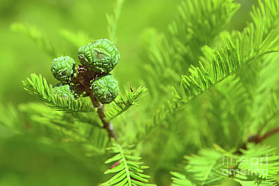 Photograph - Bald Cypress Cones by Olga Hamilton