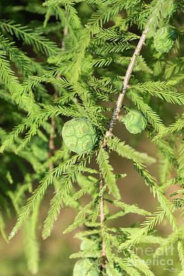Photograph - Bald Cypress Seed Cone by Jennifer White