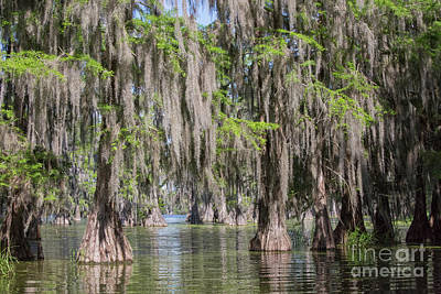 Photograph - Bald Cypresses In Lake Martin, Louisiana by Patricia Hofmeester