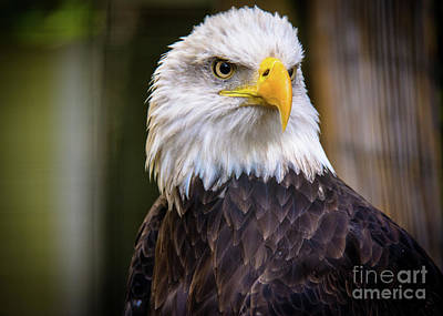 Photograph - Bald Eagle by Lisa L Silva