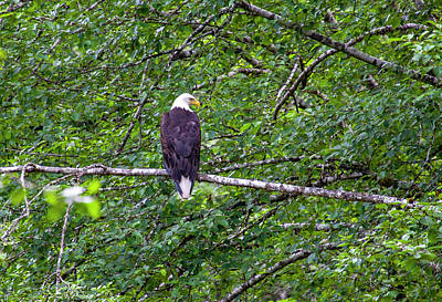 Photograph - Bald Eagle 1 by Anthony Jones