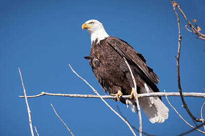Photograph - Bald Eagle 1 by Catherine Lau