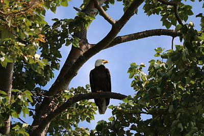 Photograph - Bald Eagle - 1 by Chad Pooschke