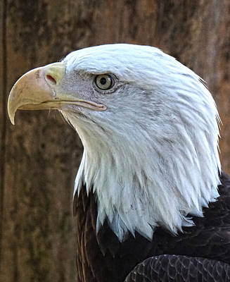 Photograph - Bald Eagle 1 by DiDi Higginbotham
