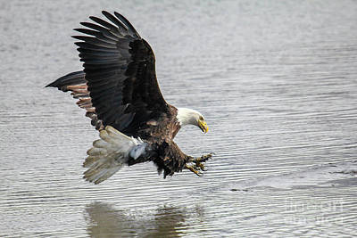 Photograph - Bald Eagle 1 by Spencer Baugh