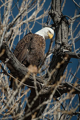 Photograph - Bald Eagle 10 by Catherine Lau