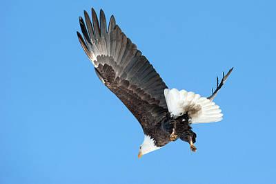 Photograph - Bald Eagle 2 by Catherine Lau