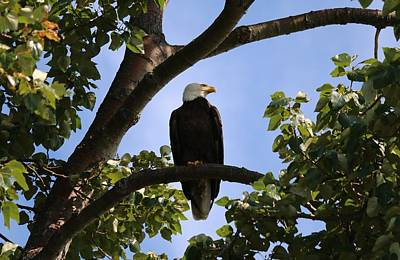 Photograph - Bald Eagle - 2  by Chad Pooschke