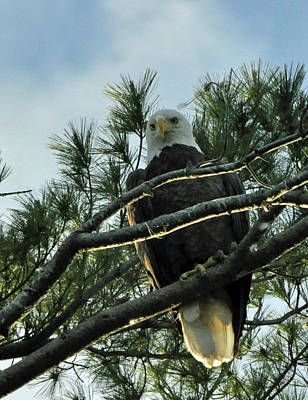 Photograph - Bald Eagle 2 by Glenn Gordon