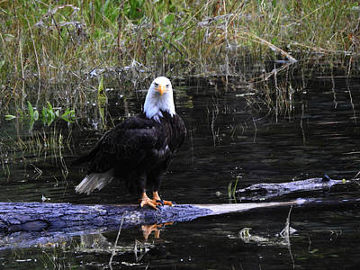 Photograph - Bald Eagle #2 by Nootka Sound