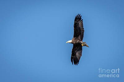 Photograph - Bald Eagle 2 by Patrick Shupert