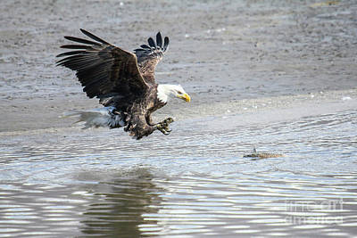Photograph - Bald Eagle 2 by Spencer Baugh